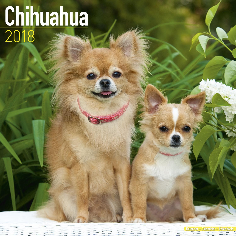 chihuahua calendar 2018 pet prints inc. Black Bedroom Furniture Sets. Home Design Ideas